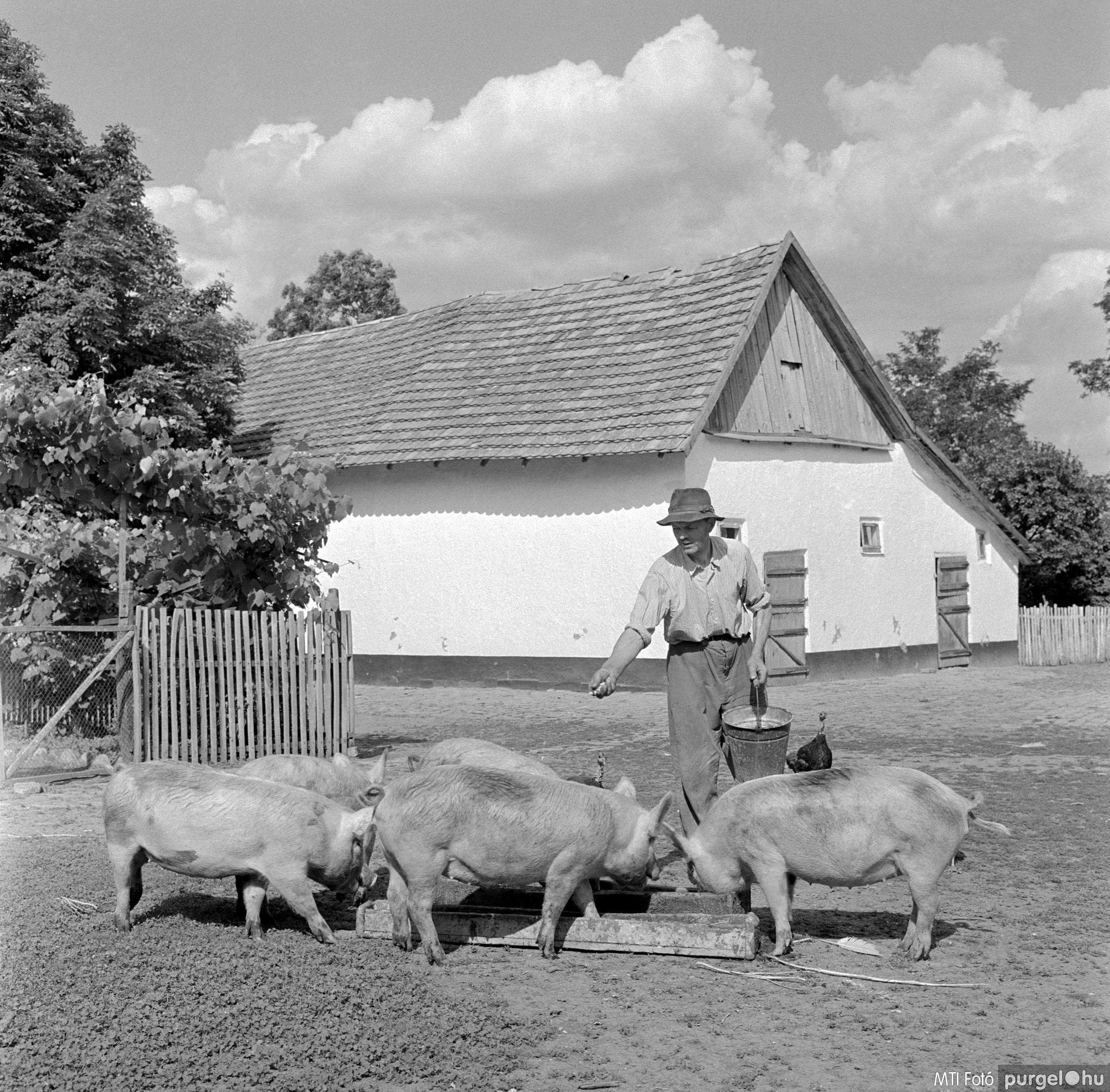 Háztáji sertéshizlalási mozgalom. Szegvár, 1961. június 3.