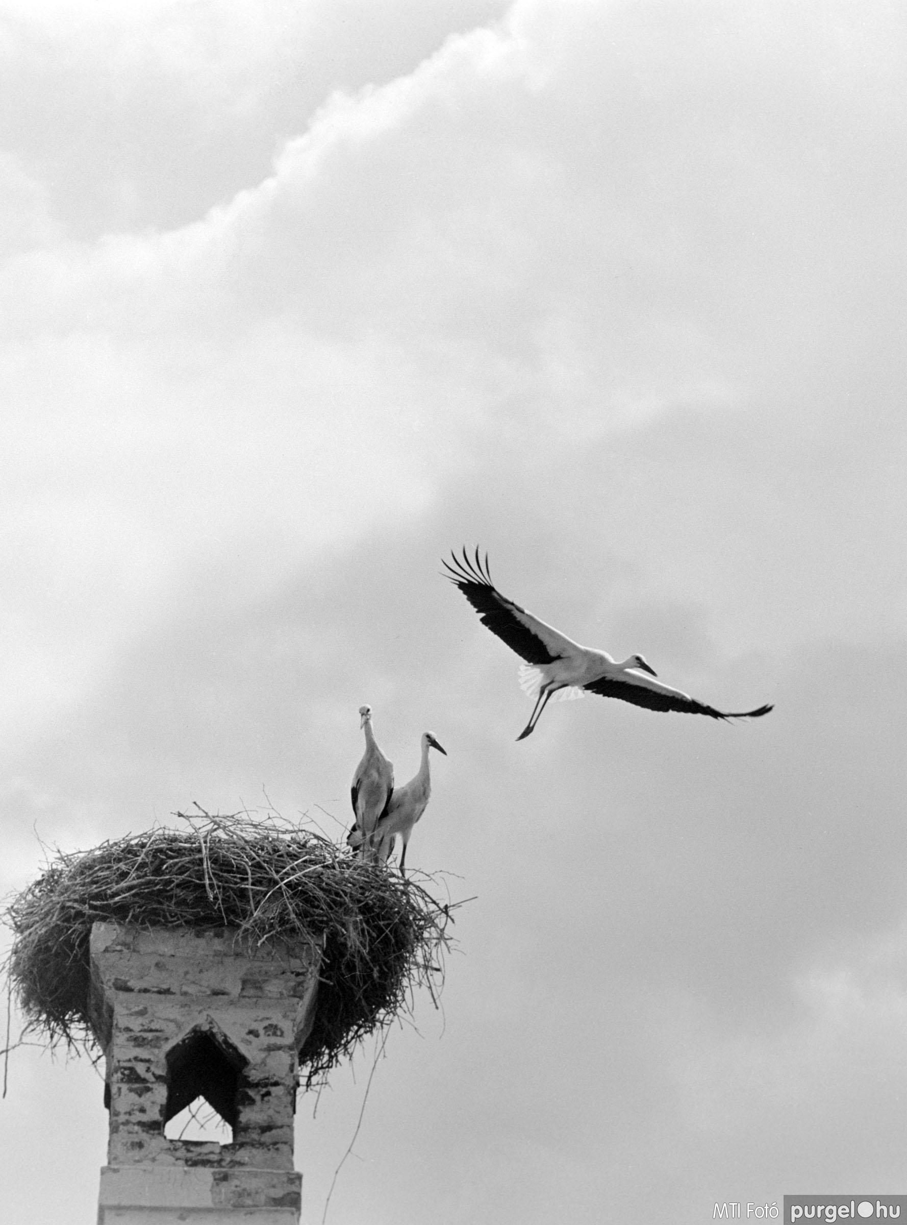 Kémény tetején fészkelő gólyacsalád II. Szegvár, 1962. július 23.